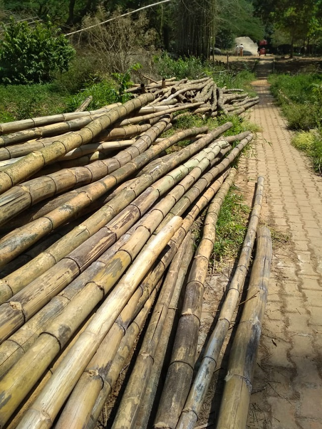 40-yr-old bamboo grove in B'luru's Cubbon Park nears end of