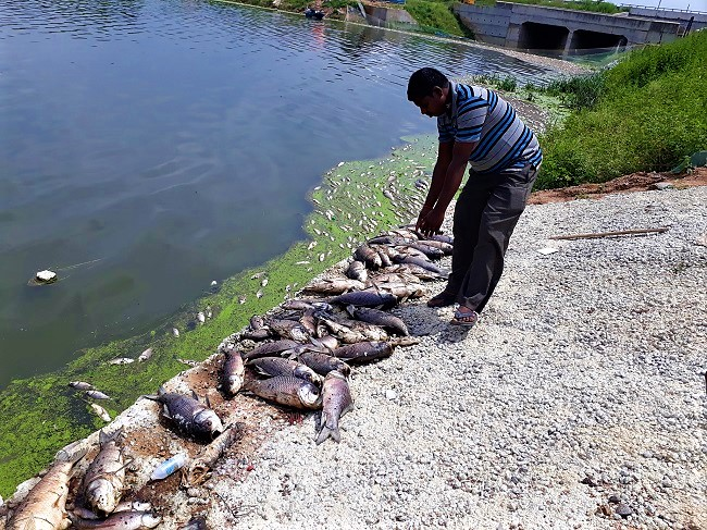 2.3 Lakh Fish washed ashore in Gandigudem lake - Industrial Pollution Kills!