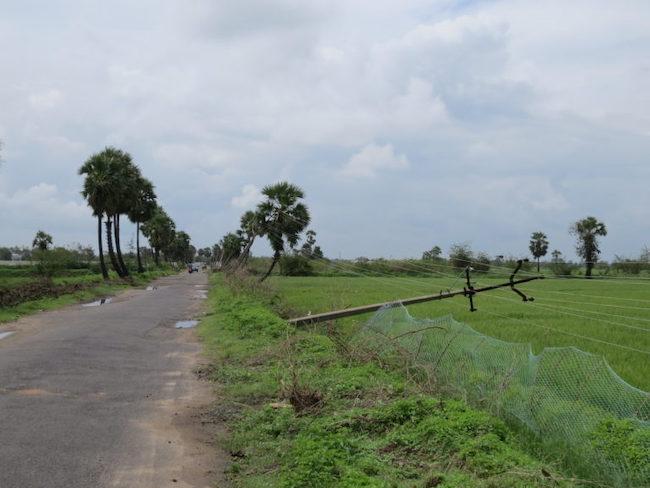 Why Tamil Nadu needs more palmyrah, the state tree   The News Minute