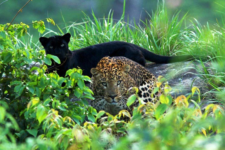 Black panther and leopard spotted in pair, TN photographer captures rare sighting