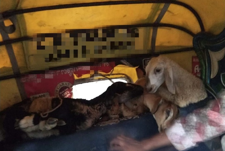 14 sheep and goats found tied and stacked in B'luru auto, driver booked for cruelty