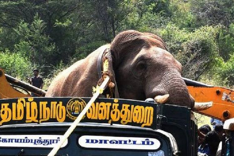 Wild elephant Chinnathambi captured, likely to be relocated to elephant camp soon