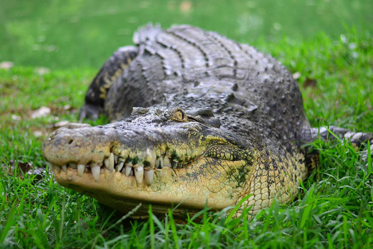 Losing out on its peak season, Madras Crocodile Bank needs your help