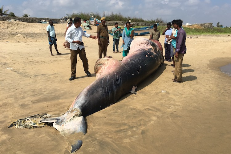 Whale washed ashore in Chennai killed after getting caught in a net?