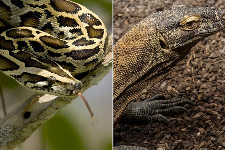 Kerala activists campaign to highlight hunting of monitor lizards, pythons