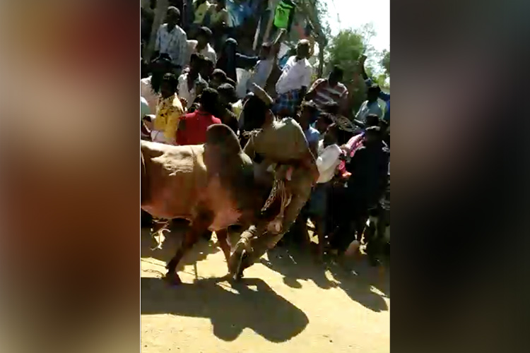 Video: TN police officer thrown into the air by Jallikattu bull in Vellore