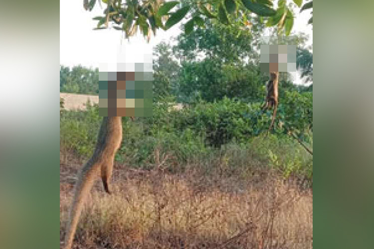 After a cat and a dog, two mongooses found hung to death in Kerala