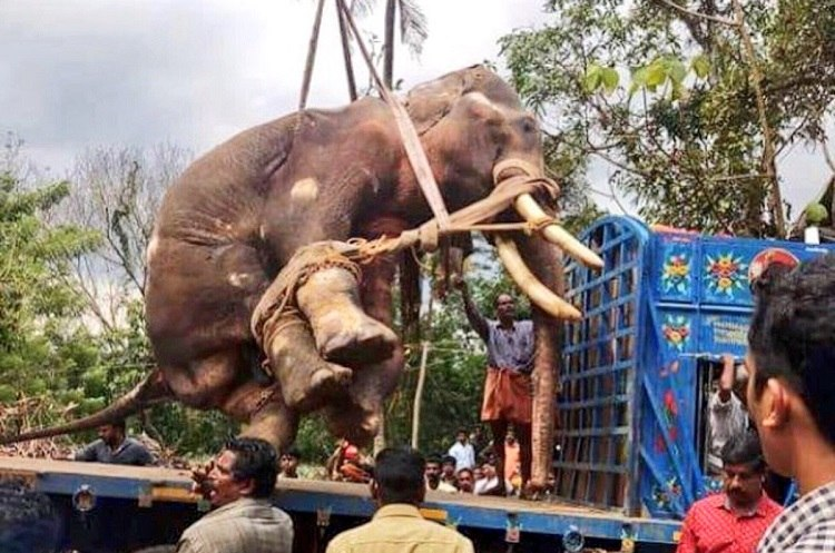 Elephant S In Kerala Forces Probe Was A Jumbo Killed For Insurance Claims
