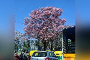 BangaloreSakura When the city turns into a riot of colours with spring