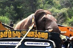 Chinnathambi has befriended kumki elephants not disturbing people TN forest officer