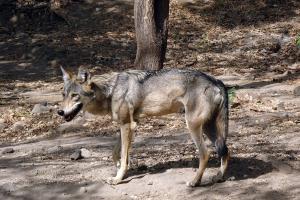 Karnataka to get its first wolf sanctuary at Bankapur