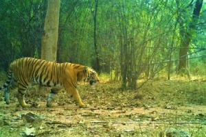 Male tiger sighted in Telanganas Kawal reserve after one year caught on camera