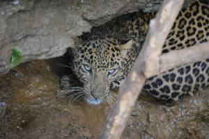 Leopard sighted in Bengaluru factory campus captured and relocated to Bannerghatta