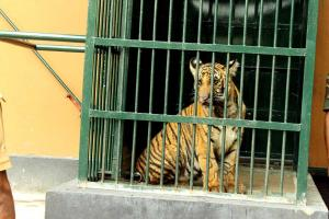Raising Mangala How Kerala forest officers are preparing a tiger cub for rewilding