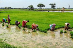 The ecological significance of Keralas move to pay royalty to paddy farmers