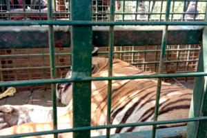 Tiger T-23 captured alive in The Nilgiris after 21-day hunt