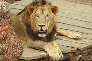 The story of how a Chennai zoo saved 13 lions that had COVID-19