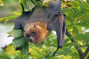 Can bats spread Nipah virus Experts allay concerns
