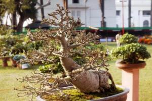 Rare bonsai plant stolen from retired IPS officers Hyd home found one arrested
