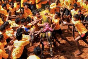 57 people injured so far in Tamil Nadus jallikattu season