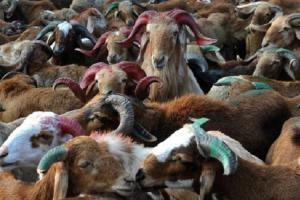 Goats quarantined and tested in Karnataka after shepherd gets COVID-19