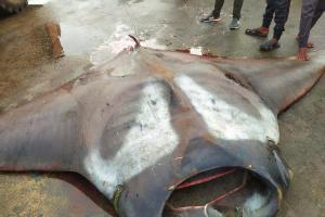 Watch Giant manta ray weighing 750 kg caught by fisherman off Karnataka coast