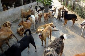 The disappearing stray dogs of south India