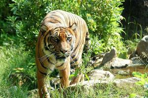 Man mauled to death by tiger in Ktakas Nagarahole forest second death in a week