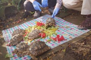 Happy homecoming 97 smuggled Indian star tortoises to be brought back to Karnataka