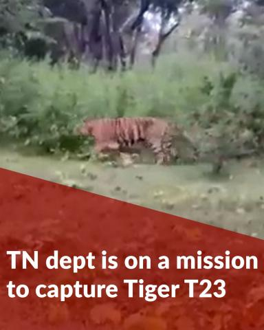 The TN dept is on a massive mission to capture Tiger T23