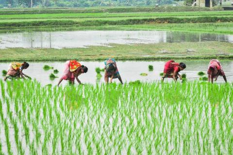 Five women bent over while planting paddy