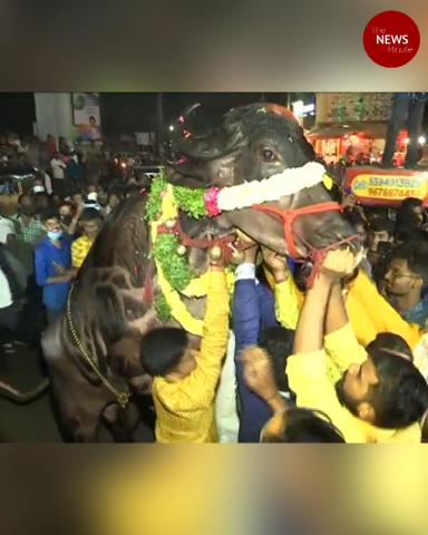Buffaloes celebrated in Hyderabad's iconic Sadar festival