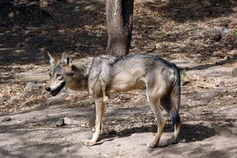 Indian Grey Wolf standing in a forest area