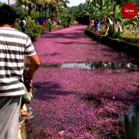 These pink flowers in Kozhikode waters amuse visitors but have a harmful side