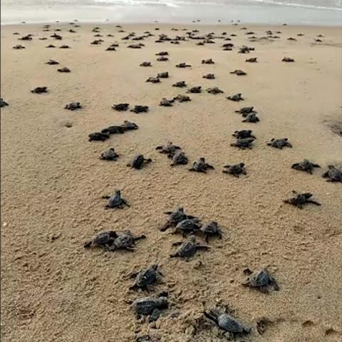 Olive Ridley turtles see undisturbed nesting season amidst lockdown