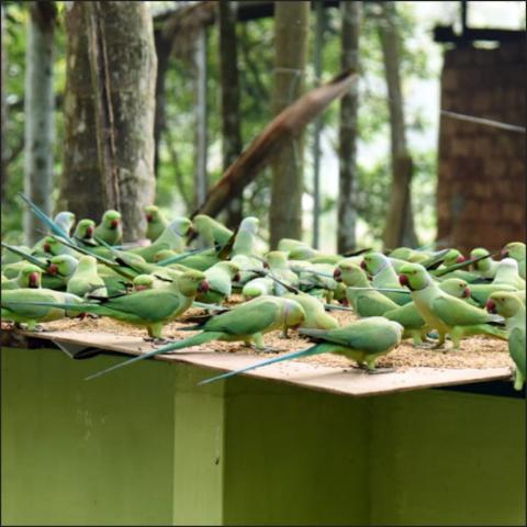 Hundreds of parrots flock to this Kerala house every day for a feast