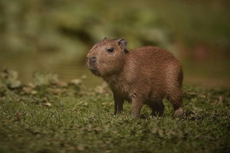 Worlds largest rodent gives birth in British zoo