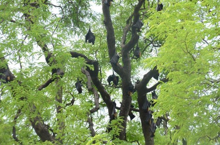 Where bats are sacred and bat meat is eaten health communication on Nipah is lacking