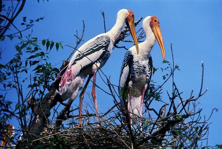 In this Karnataka village people give safe refuge to endangered pelicans