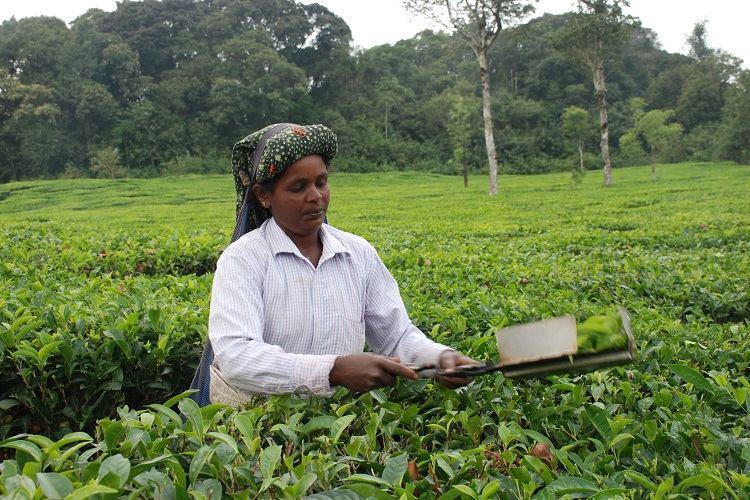 Photo feature Kadamane an enticing getaway amid lush tea gardens