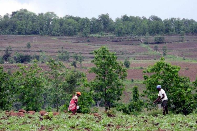 Two Adivasis till agriculture fields in close proximity to forests in Kumram Bheem Asifabad and Adilabad district