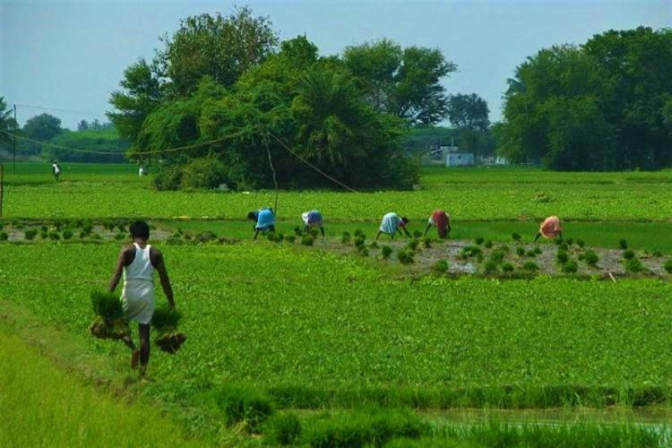 Representational image of an agricultural field which shows a farmer carrying two bundles of paddy in the foreground while others work in the fields in the background