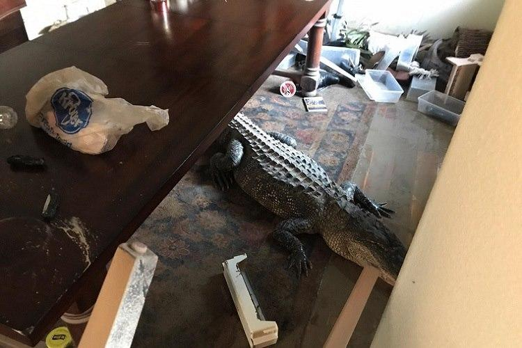 Alligator discovered inside flooded Texas home