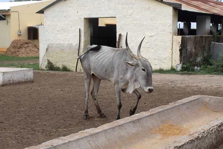 Why Karnatakas native Amrit Mahal cattle are in urgent need of better conservation