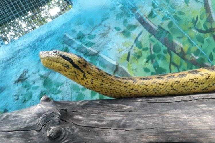 Mysuru Zoo ssspecial Two anacondas from Sri Lanka find new home in exchange programme