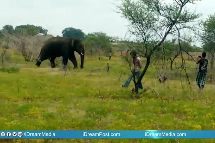 After week long face-off Andhra forest officials capture tusker that killed farmer