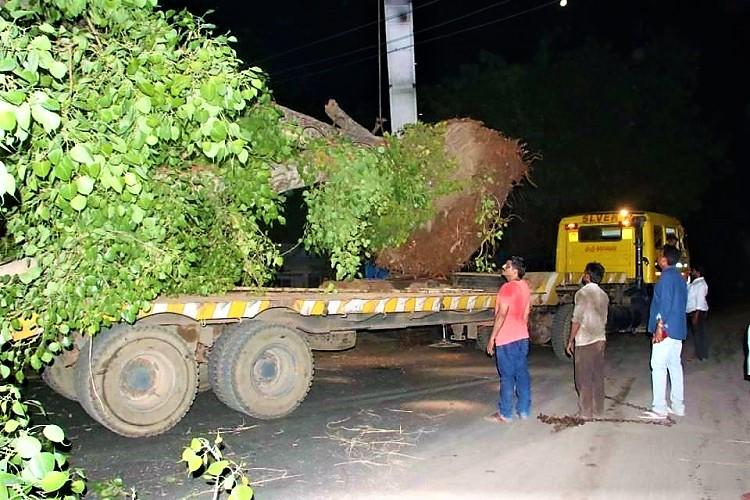 Andhra MLA translocates peepal trees that were going to be axed on personal expense