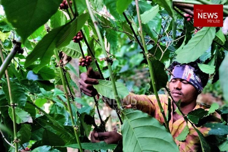 Tribal farmers cultivating Araku coffee stare at crisis as Union govt delinks MGNREGA