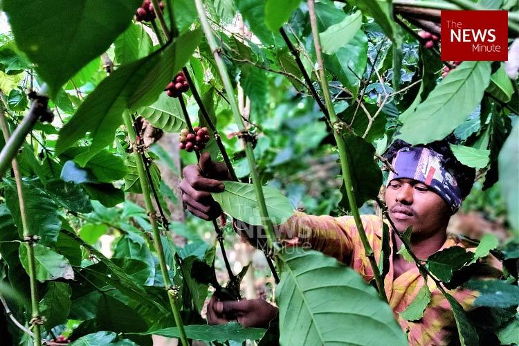 Arakus coffee is world-famous but why are its farmers still struggling
