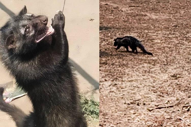 Two palm civets rescued from house in Telangana village